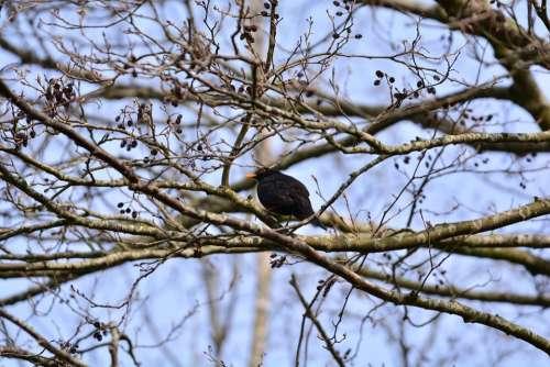 Blackbird True Throttle Bird Black Animal Nature