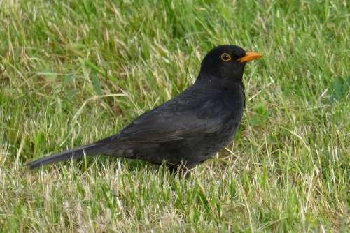 Blackbird Bird Black Grass