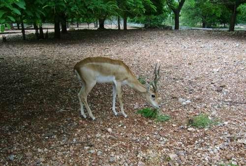 Blackbuck Male Antelope-Cervicapra Sub-Adult