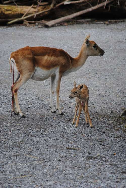 Blackbuck Dam Young Animal Birth Umbilical Cord