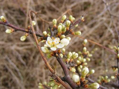 Blackthorn Buds Flowers Prunus Sloe Spinosa White