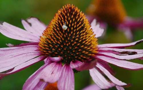 Bloom Colorful Coneflower Detail Echinacea Flora