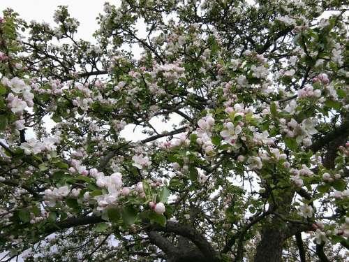 Bloom Apple Tree Apple Tree Flowers