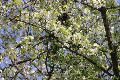 Bloom Blossoms Cherry Flowers Nature Spring