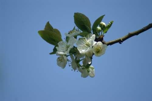 Blossom Fruit Plum Spring Betuwe