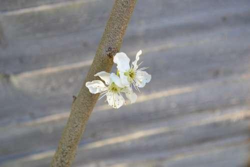 Blossom Plum Blossom Flower White Close-Up Branch