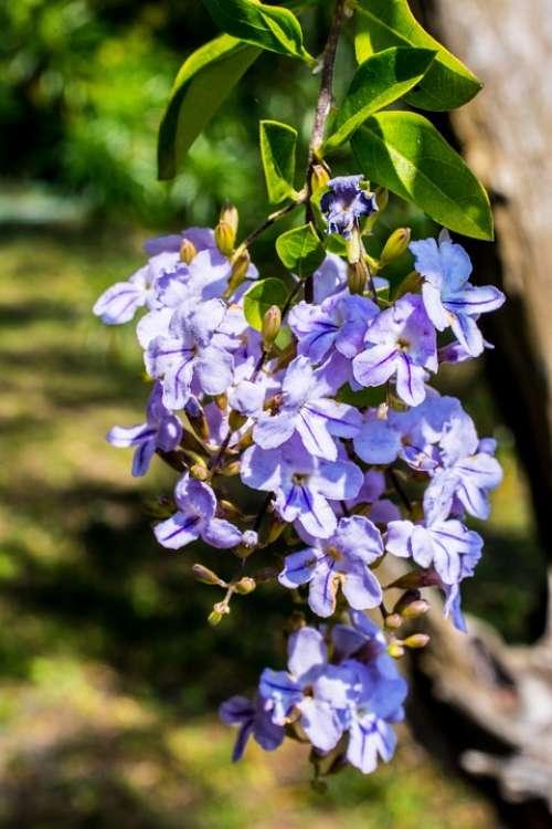 Blossom Blossom Bloom Flower Blue Close Up