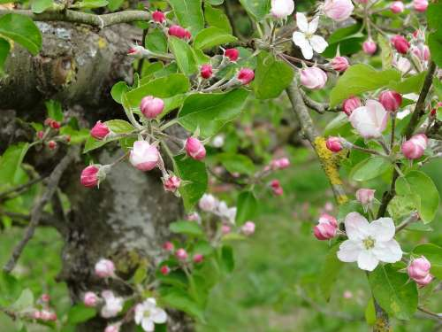 Blossom Flower Spring Fruit Nature Landscape
