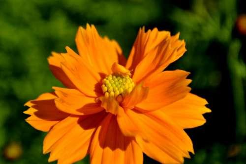 Blossom Orange Flower Plant Nature Floral