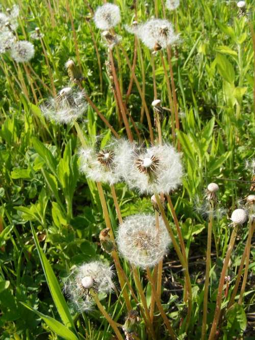 Blow Dandelion Flowers Fruits Officinale Ripe