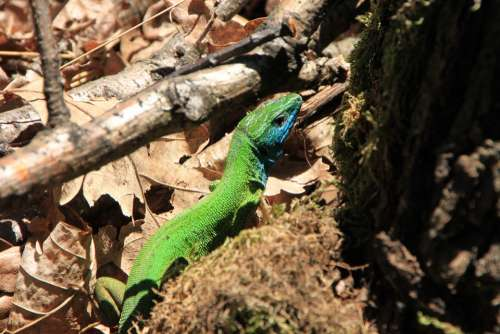 Blue Camouflage Forest Green Lacerta Lizard