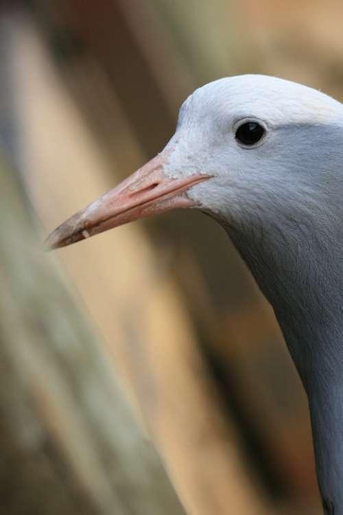 Blue Crane Bird Crane Blue Grey Head Neck
