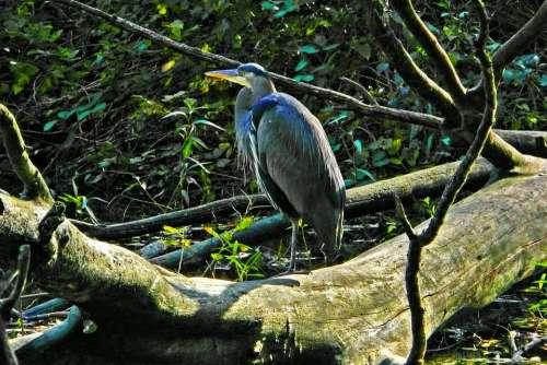 Blue Heron Waterbird Animal Pond Wood Stanley Park