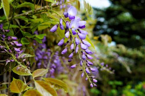 Blue Rain Wisteria Flowers Blossom Toxic Beautiful