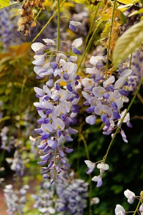 Blue Rain Flowers Plant Bush Toxic Tender