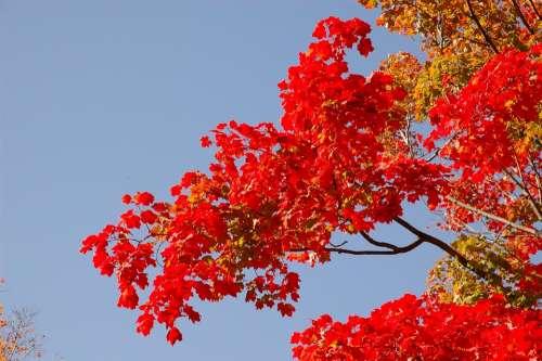 Blue Sky Fall Autumn Golden Autumn Fall Colors