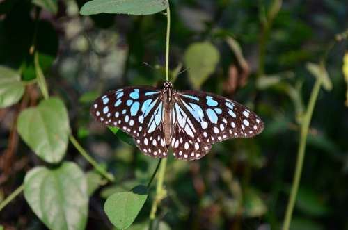 Blue Tiger Butterfly Insect