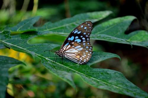 Blue Tiger Butterfly Butterfly Flower Insect