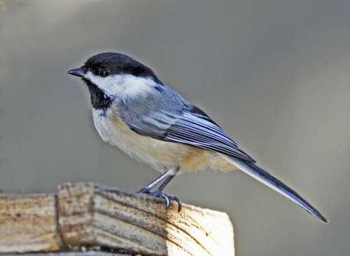 Bluebird Bird Spring Fence