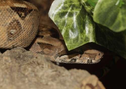 Boa Snake Boa Constrictor Imperator Emperor Snake