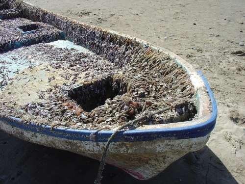 Boat Crustacean Beach Macro Close Ocean Sea-Life