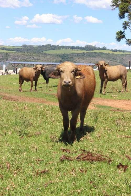 Boi Cow Farm Animal
