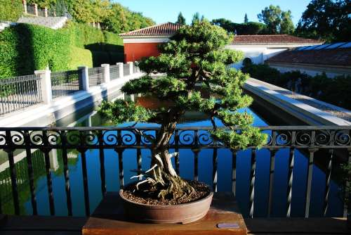 Bonsai Madrid Botanical
