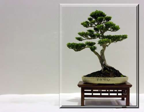 Bonsai Tree Small Frame Growing Japanese Branches
