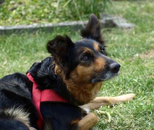 Border Colli Dog Attention Face Portrait Curious