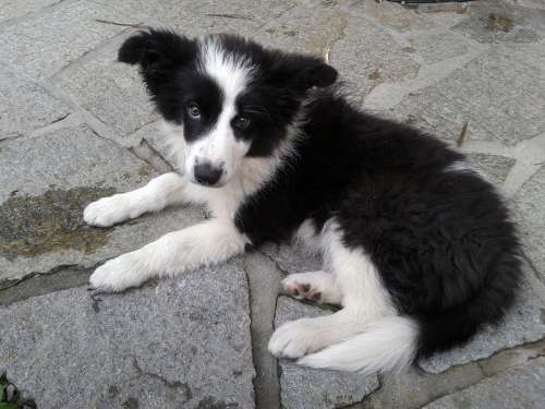 Border Collie Dog Peaceful Puppy