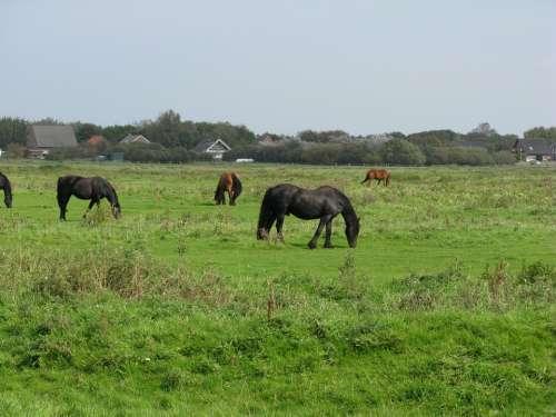 Borkum Horses Friesen Pasture
