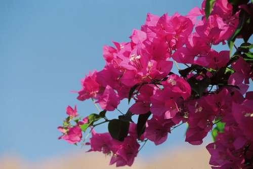 Bougainvillea Bougainville Triple Flower