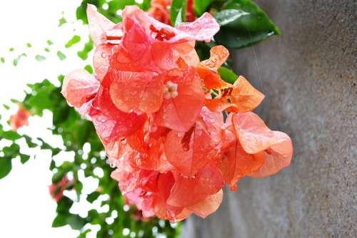 Bougainvillea Bougainvillea Flowers Flowers Flower