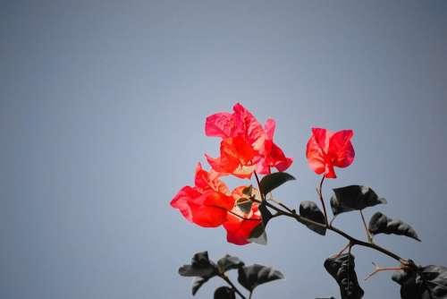 Bougainvillea Flower Sri Lanka Mawanella Ceylon