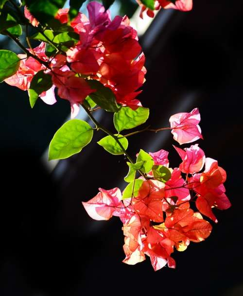 Bougainvillea Flowers Blossoms Nature Garden