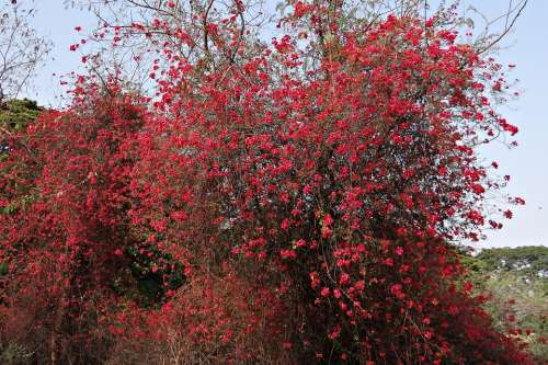 Bougainvillea Flowers Red Blossom Profusion India