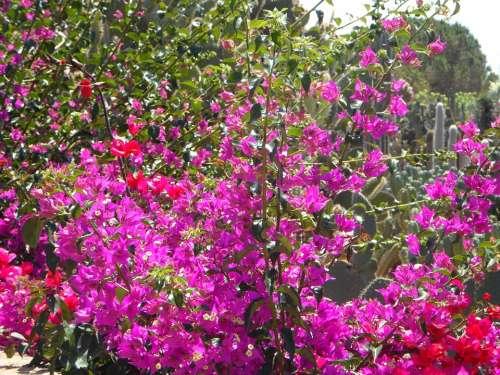 Bougainvillea Garden Mediterranean Flowers