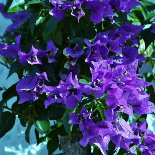 Bougainvillea Purple Flower Flowering Shrub Garden