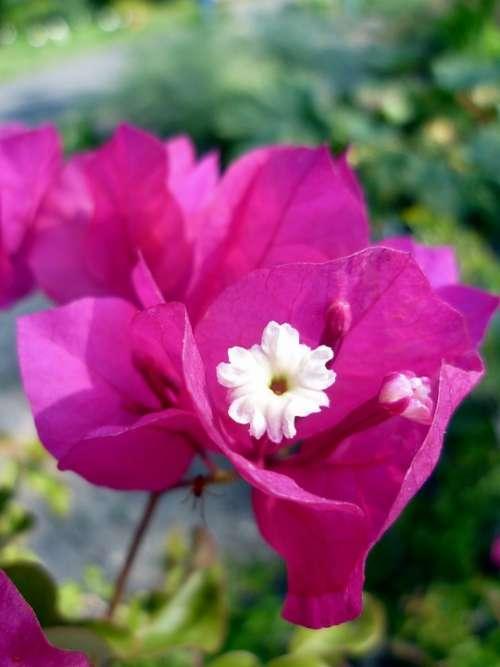 Bougainvillea Four O'Clock Plant Blossom Bloom Pink