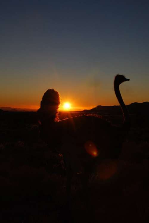 Bouquet Sunset Ostrich Africa Namibia Backlighting