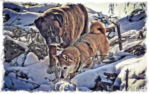 Boxer Shiba Inu Dogs Friends Animal Winter