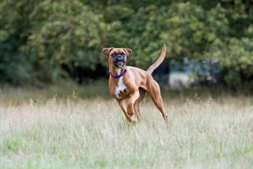 Boxer Dog Boxer Dog Cute Happy Active Canine Pet