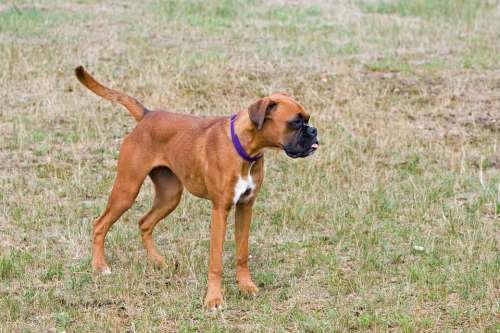 Boxer Dog Boxer Dog Cute Young Puppy Canine Pet