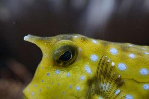 Boxfish Close Up Underwater Swim Fish Animal