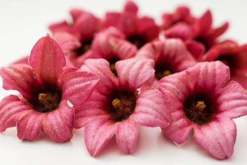 Brachychiton Bidwillii Pink Flowers Beauty Color