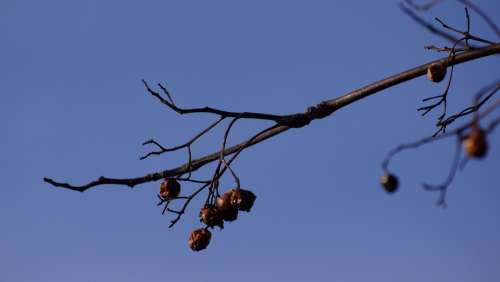 Branch Bird Food Leafless Old Berries