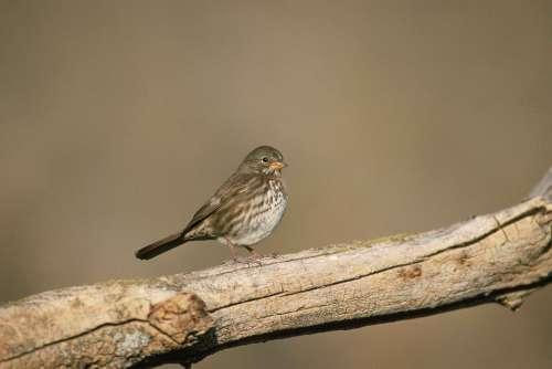 Branch Tree Dead Standing Fox Bird Sparrow Birds