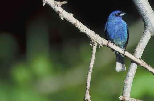 Branch Perches Bird Bunting Indigo Attractive An