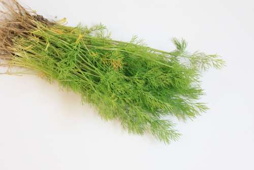 Branch Dill Flavor Fresh Green Spices Vegetables