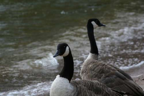 Branta Canadensis Canada Goose Bird Animal Water